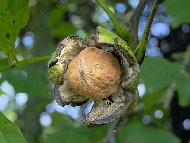 Орехи – это плоды некоторых кустарников или деревьев