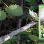 Лечение аденомы простаты корой осины
